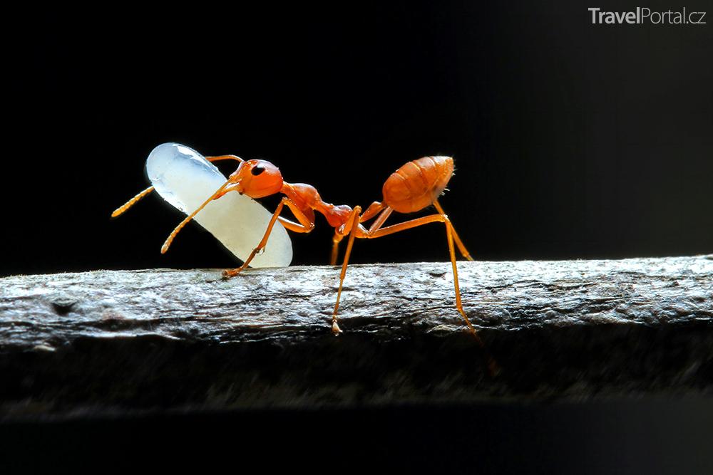 rudý mravenec s vajíčkem