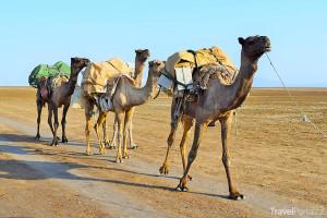 velbloudi v Etiopii