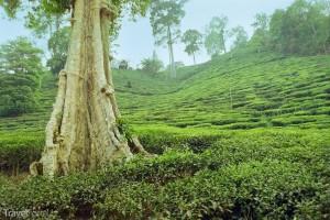 Čajovníková plantáž Thajsko