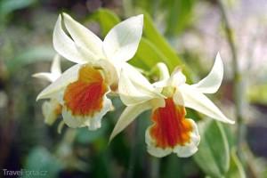 Divoká orchidej Dendrobium