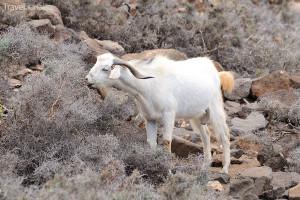 koza na ostrově Fuerteventura