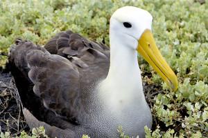 albatros galapážský