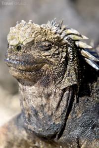 Leguán Galapády
