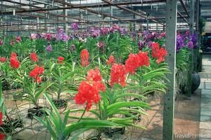 Orchidejová farma Thajsko