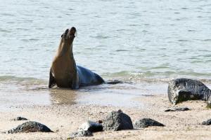 Tuleň Galapády