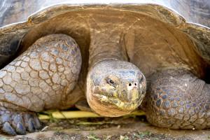 Želva Galapády