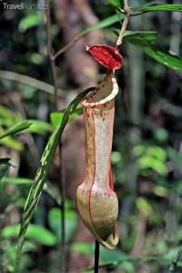 Masožravá rostlina Condom plant Jiří Rill