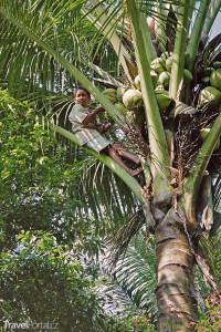 kokos Toba