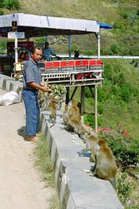 Opice loudilky Toba
