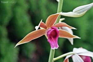 orchidej Phaius tankervilleae Jiří Rill