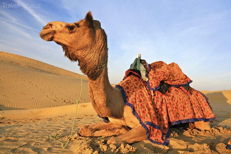 velbloud v Maroku