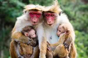 Opičí rodina Srí Lanka