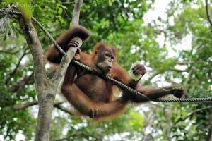 Opice z Malajsie