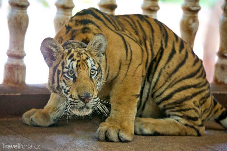 Tygr v Tygřím chrámu v Thajsku