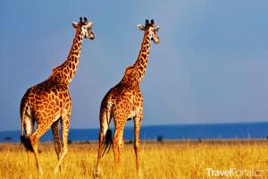 žirafy safari Keňa
