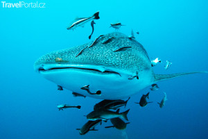 velrybí žralok Keňa