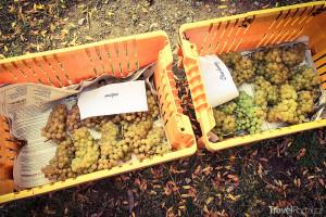 sběr vína Niagara