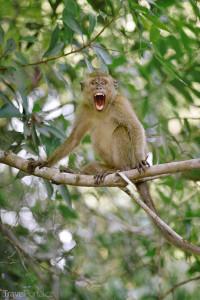 opičák Malajsie