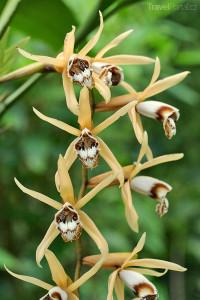orchidej Malajsie
