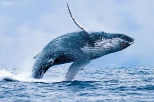 velryba hrbatá
