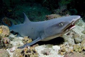 Cookeův žralok