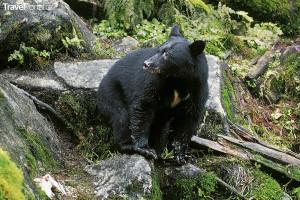 medvídě Aljaška