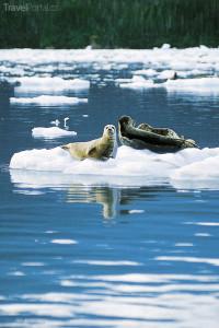 Tuleni Aljaška