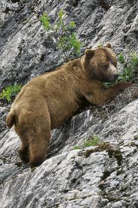 medvěd Aljaška