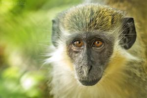 zelená opice Barbados