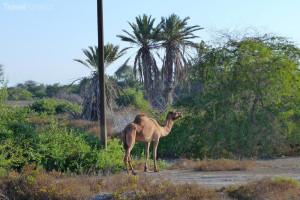 velbloud Omán