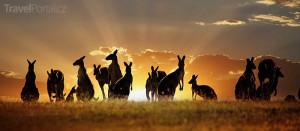 houf klokanů Austrálie