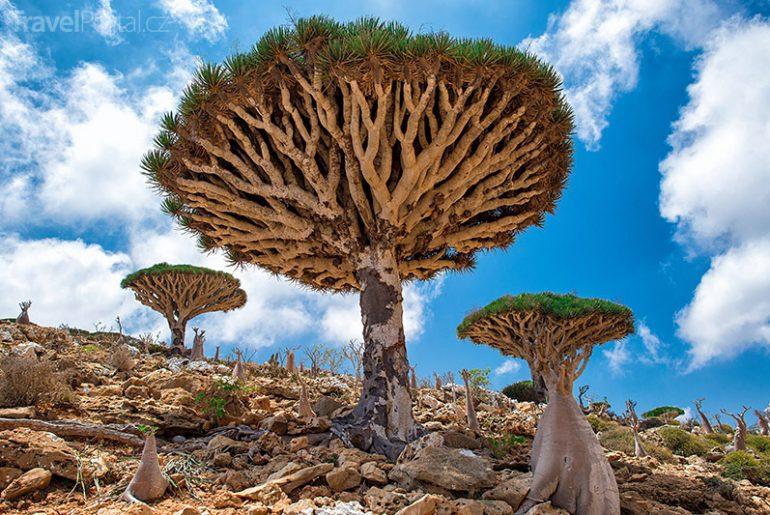 dračinec rumělkový Sokotra