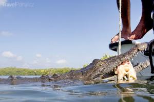krmení krokodýla Franca