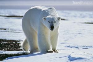 lední medvěd Grónsko