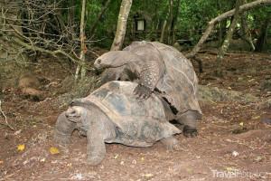 želvy v Zanzibaru