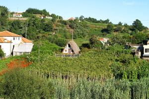 vinice Madeira