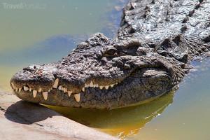 krokodýl na ostrově Djerba