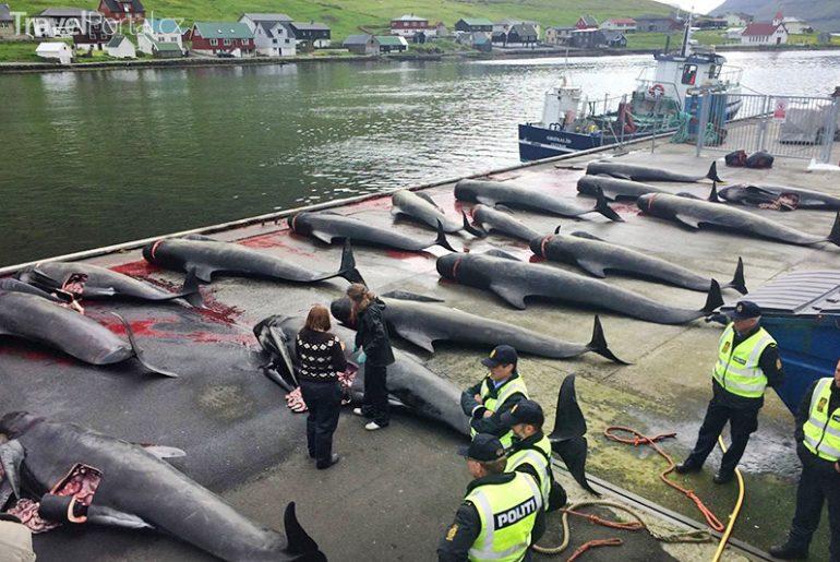 Obyvatelé Faerských ostrovů opět vraždili velryby a delfíny.