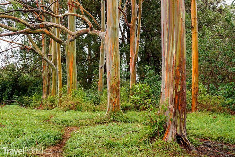 Eucalyptus deglupta neboli blahovičník oloupaný