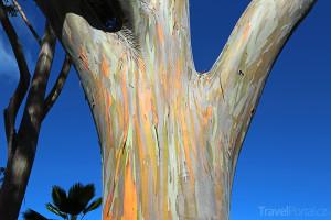 Eucalyptus deglupta Mindanao
