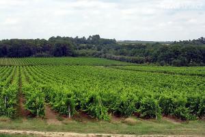 vinice Armagnac