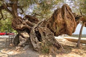 2000 let starý olivovník na ostrově Zakynthos