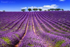 pole s levandulemi v Provence