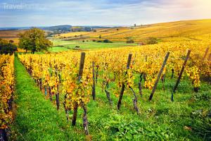 podzimní vinice na vinné stezce v Alsasku
