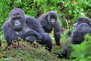 gorily v Ugandě
