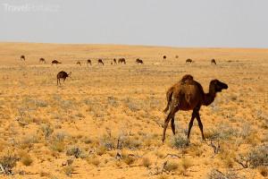 velbloudi v Tunisku