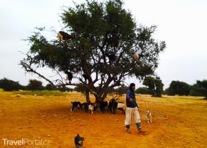 kozy na stromě Argania spinosa
