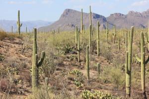 Saguaro Monument
