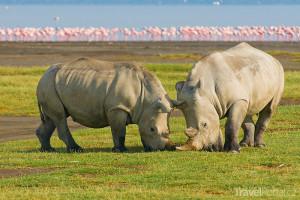 nosorožci a plameňáci v Nakuru
