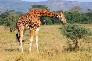 žirafa v Nakuru